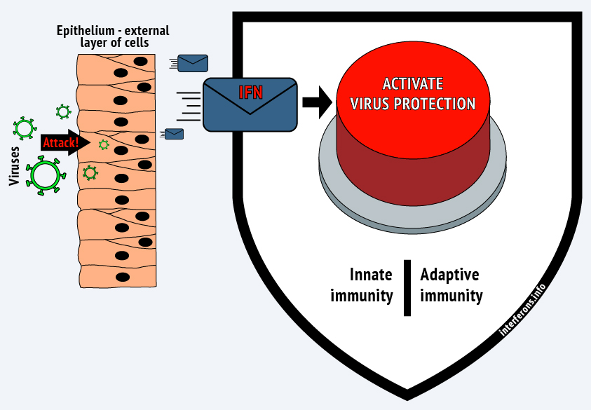 Interferon triggers all the antiviral protection mechanisms