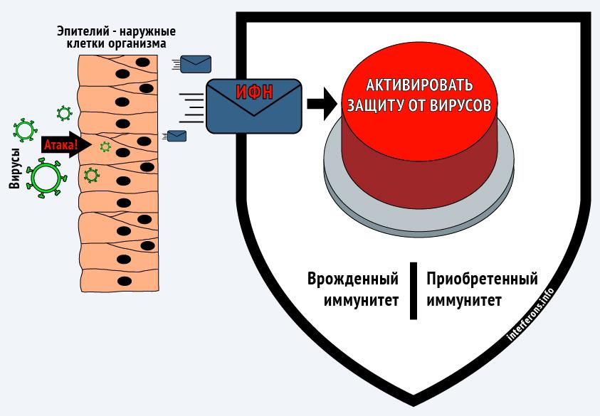 Интерферон запускает все механизмы противовирусной защиты